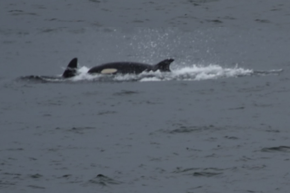 Orcas in San Juan Islands